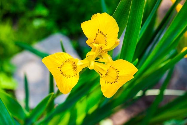 黄色いアイリス(アイリスpseudacorus)のクローズアップの花