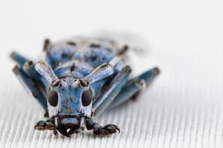 Pseudomyagrus waterhousei raccapricciante scarabeo