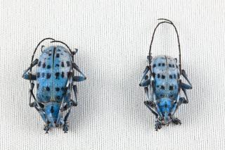 Pseudomyagrus waterhousei scarabei vicino