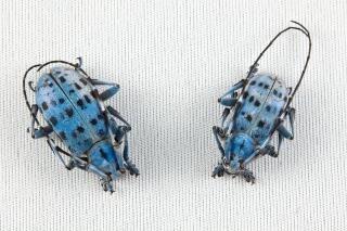 Pseudomyagrus waterhouseiカブトムシ