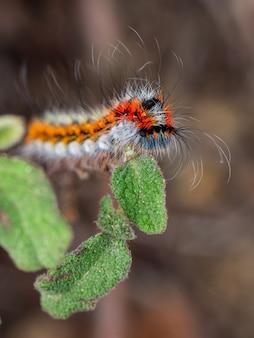Psilogaster loti caterpillar on cistus salviifolius