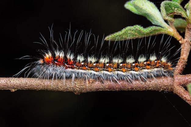 Cistus salviifolius의 psilogaster loti 애벌레