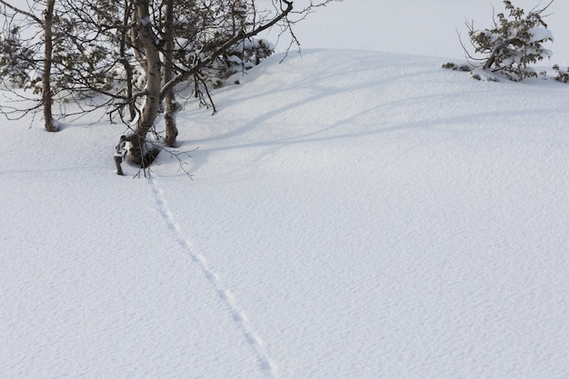 Ptarmigan, lagopus, grouse traces in the snow
