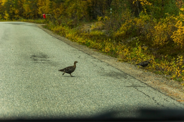 Ptarmigan in road in lapland, northern finland. europe.