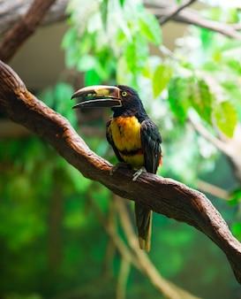 襟付きアラカールアガラードpteroglossus torquatusオオハシ