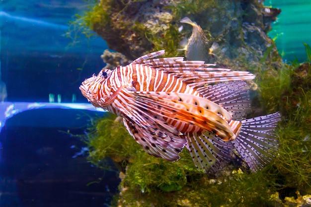 Красная крылатка pterois volitans аквариумные рыбки. хищная рыба с веерообразными плавниками, которые содержат острые ядовитые иглы