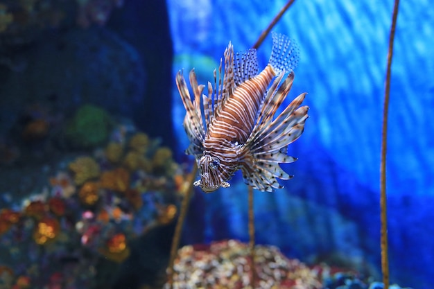 Крылатка (pterois volitans) плавает в аквариуме против коралловых рифов