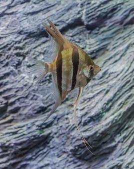 Pterophyllum scalare。岩と泳ぐエンゼルフィッシュ