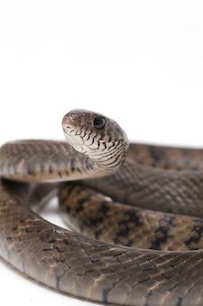 Змея ptyas восточная индийская крыса змея изолирован на белом.