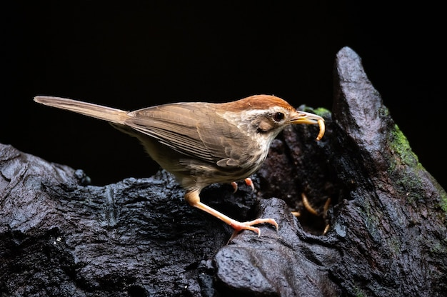 Puff throated babbler or spotted babbler eating worm on timber.