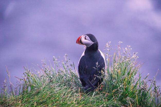 草の上のツノメドリ鳥