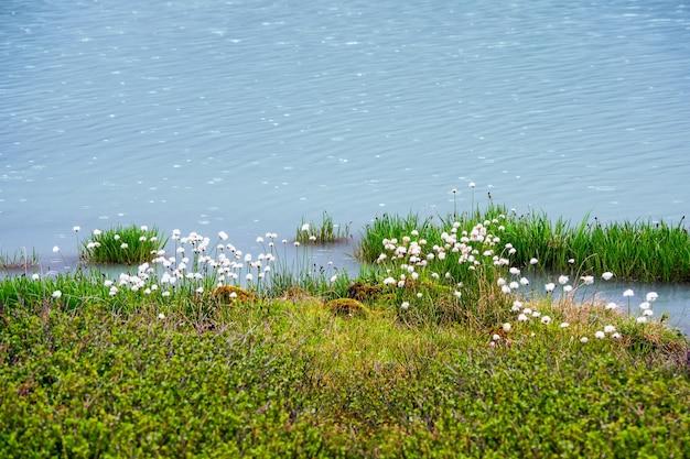沼と青い水にふくらんでいる綿草。緑と水と抽象的な自然の背景。