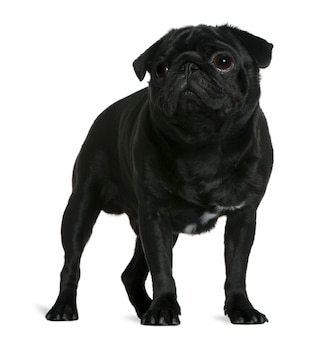 Pug, 1 year old, standing