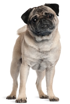 Pug, 2 and a half years old, standing
