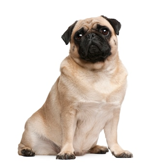 Pug, 2 years old, sitting in front of white wall