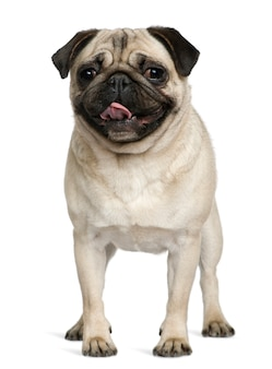 Pug, 2 years old, standing in front of white wall