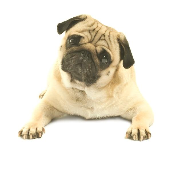 Pug close up on white background