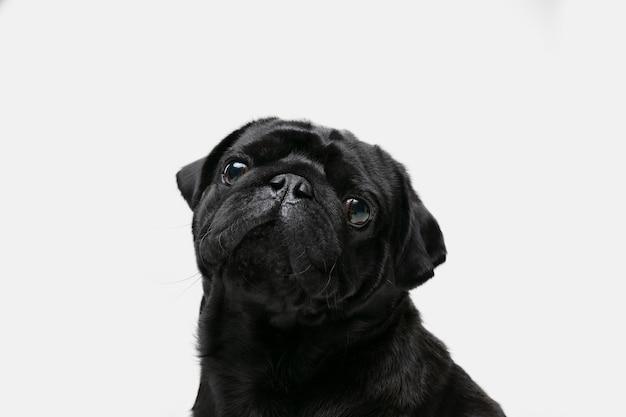 Позирует компаньон-мопс. милая игривая черная собачка или домашнее животное, играющая на белом фоне студии