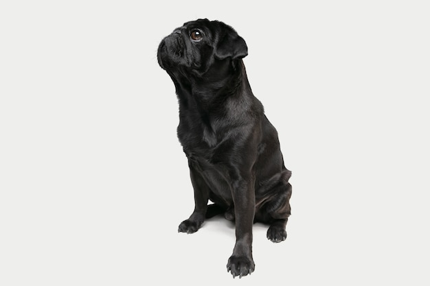 Pug-dog companion is posing. cute playful black doggy or pet playing isolated on white studio wall. concept of motion, action, movement, pets love. looks happy, delighted, funny.