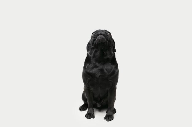 Il compagno di carlino sta posando. simpatico cagnolino nero giocoso o animale domestico che gioca isolato sulla parete bianca dello studio. concetto di movimento, azione, movimento, amore per gli animali domestici. sembra felice, felice, divertente.