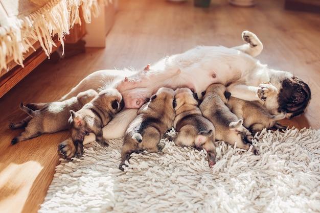 Собака мопса кормит шесть щенков дома. собака лежит на ковре с детьми