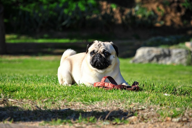 Pug dog in a garden