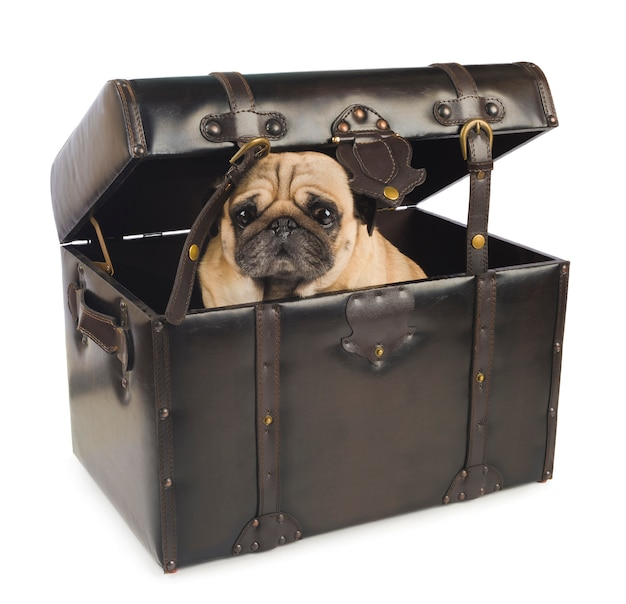 Pug dog hiding in vintage chest on white background