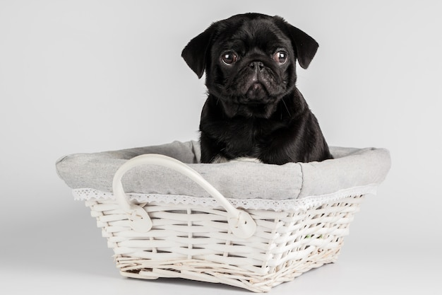 Pug dog isolated