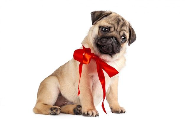 Pug dog isolated