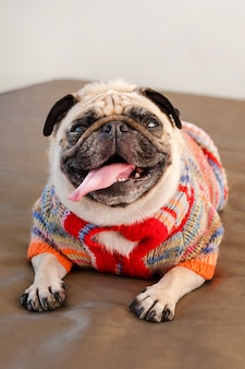 Pug dog laying on a couch looking at the camera. funny pug dog dressed in knitted sweater indoors.