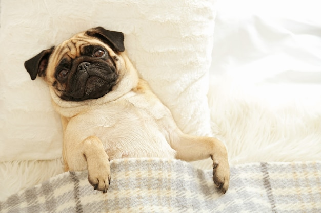 Pug dog lying in bed under blanket