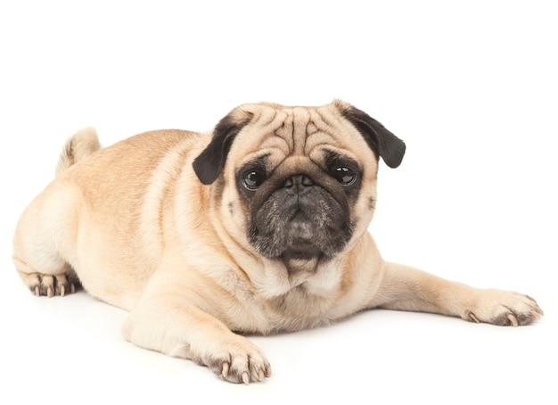Pug dog lying on white surface