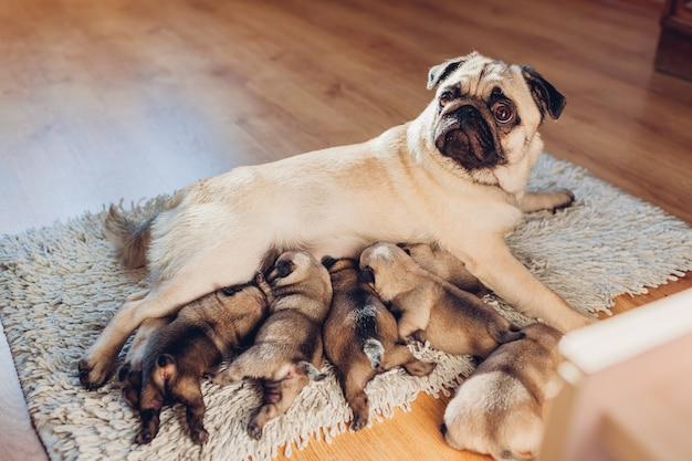 Pug dog mother feeding six puppies at home. dog lying on carpet with kids. family time
