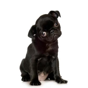 Pug dog portrait isolated