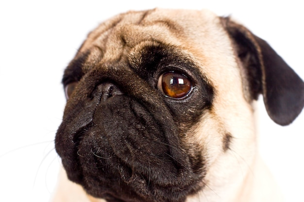 The pug dog sits and looks directly into the camera. sad big eyes.