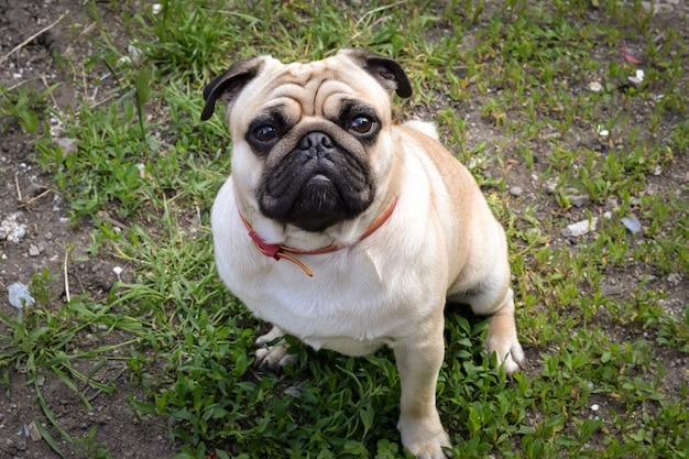 Pug dog sitting on the ground