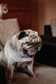Собака мопса сидит на стуле дома и зевает, домашнее животное, семья и животные