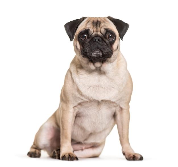 Pug dog sitting