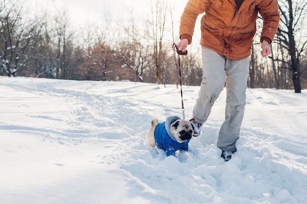 Pug dog walking on snow with man. puppy wearing winter coat outdoors