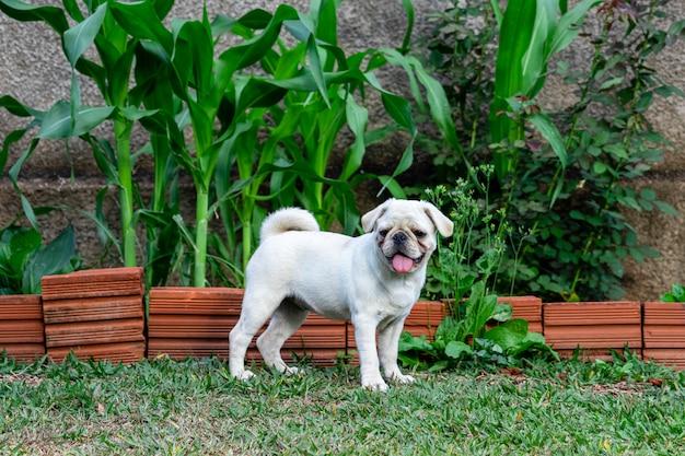 Pug dog walking through the grass.