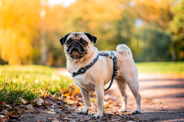 A pug dog walks in the autumn park along the yellow leaves