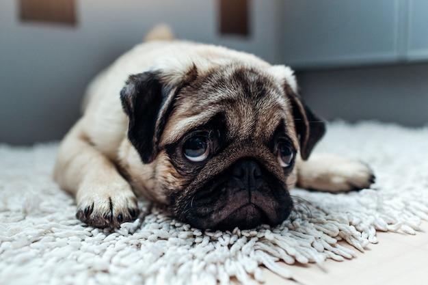 Pug dog was punished and left alone