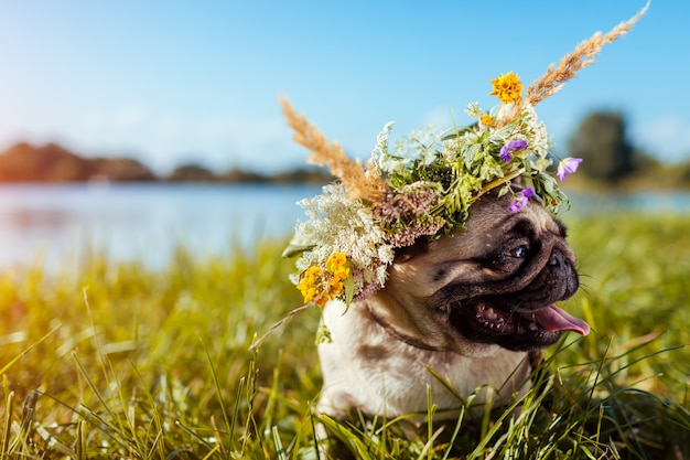 Pug dog wearing flower wreath by river. happy puppy chilling outdoors on summer field