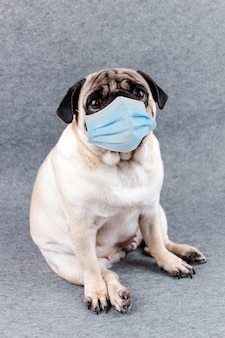 Pug dog with medical mask and sad big eyes. quarantine and isolation during coronavirus