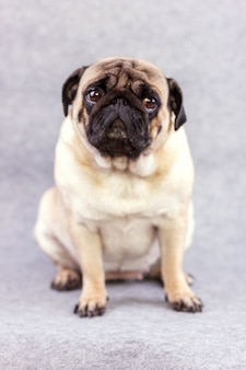 Pug dog with sad big eyes sits