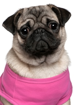 Pug dressed in pink, 7 months old, in front of white wall