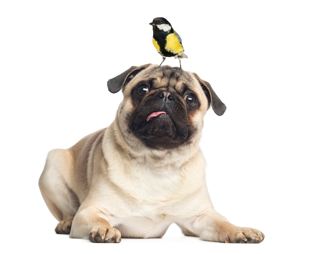 Pug lying with a great tit on the head isolated on white