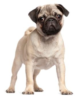 Pug puppy, 3 months old, standing
