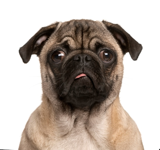 Pug puppy looking at the camera sticking the tongue out and making a face isolated on white