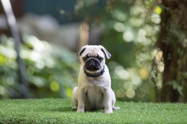 Щенок мопса на лужайке